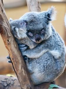 コアラ睡眠3