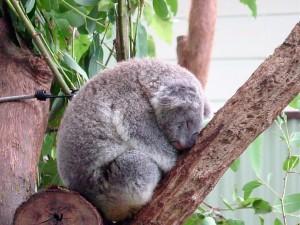 コアラ睡眠